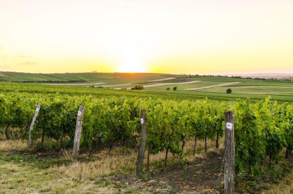 Wijngaarden Moravië